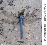 Blue Eastern Pondhawk Dragonfl...