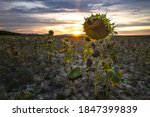 Landscape Of Dried Sunflowers...