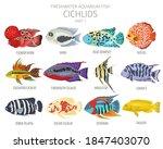 Cichlids Fish. Freshwater...