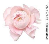 Pale Pink Ranunculus  Persian...