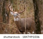 A Large White Tailed Buck Stops ...