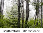 Fog In The Forest Along A...
