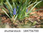 Spring Flowers Of Muscari  ...
