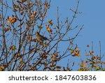 American Robin Bird Camouflaged ...