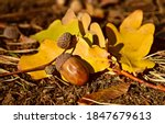Acorn On Autumn Leaves View....