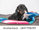 Small photo of Naughty dachshund puppy has stolen home slippers of owner and is gnawing them in pet bed, front view. Baby dog with guilty look was caught in the act