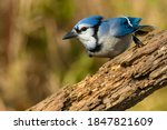 Small photo of A Blue Jay is perched on a log looking intently to the left. Lynde Shores Conservation Area, Whitby, Ontario, Canada.