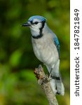 Small photo of A Blue Jay perched on a broken dead branch. Lynde Shores Conservation Area, Whitby, Ontario, Canada.