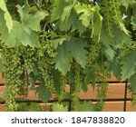 Bunches Of Young Sultana Grapes ...