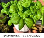 Green Fresh Basil Plant In A...
