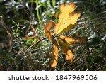 Autumn Leaves  Golden Yellow...