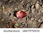 Flowering Dogwood Leaf In...