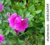 photo of purple flower plant in ...   Shutterstock . vector #1848136549