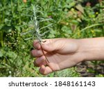 Small photo of Propagating lavender from cuttings. A gardener is holding a lavender cutting, graft in hand to plant it in soil.