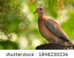 Brown Dove With Green...