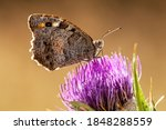 Butterfly On Thistle Flower Head