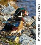 Beautiful Male Wood Duck...