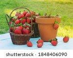 Strawberries Harvested On...