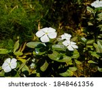 White And Red Periwinkle Flower....