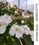 photo of white flower plants...   Shutterstock . vector #1848572773