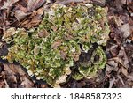 Bracket Fungus And Leaves On A...