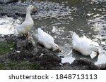 Three Dirty White Ducks With...