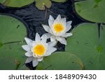 A High Angle Shot Of Lilies And ...