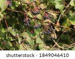 A Closeup Shot Of Blackberries...