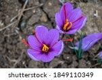 Saffron Flowers In The Field....