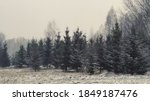Winter Landscape. Spruce Trees...