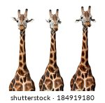 Giraffes Isolated On White...