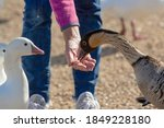Nene Goose Feeding Out Of A...