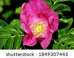The Dog Roses Are Widely Seen...
