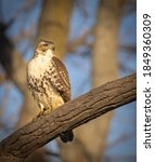 A Young Red Tailed Hawk...