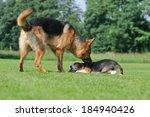 Stock photo german shepherd with beagle puppy body talk 184940426