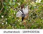 Fantail Posing In The Garden
