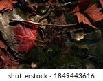 Beautiful Red Maple Leaf And...