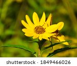 Two Blooms Of Coreopsis Or...