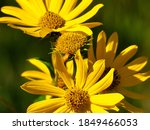 Coreopsis Or Tickseed Daisy...
