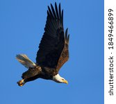 Small photo of A full bodied closeup of a Bald Eagle with its wings in an up-stroke and a determined look on its face as it proceeds to swoop down.