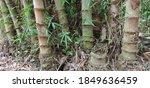 Bamboo Tree  Bambuseae  That...