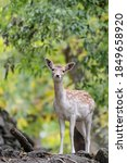 Portrait Of Fallow Deer Female...