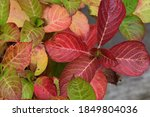 Hydrangea Leaves That Have...