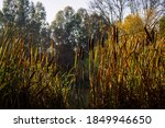 A Patch Of Cattail In The Late...