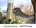 Grey Squirrel Eat Food For...