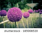 Decorative Onion Flowers  Allium