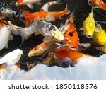 Colorful Koi Fish In A Pond...