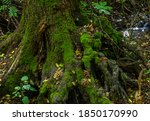 The roots of a large tree covered with moss. - stock photo