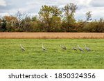 Small photo of A swoop or flock of sandhill cranes out in a field near Chisago City, Minnesota USA