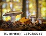 Edible Mushrooms Clitocybe...